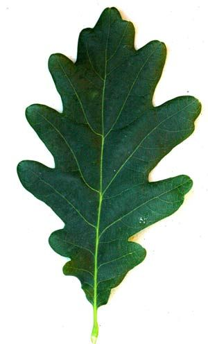 300x496 Oak Leaf 5 To 7 Wavy Lobes On Each Side Of The Leaf Tree,s