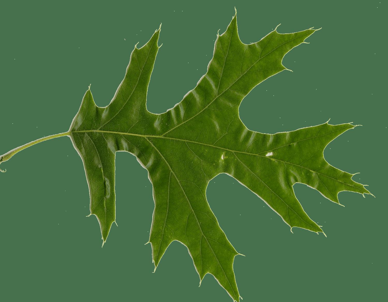 1500x1168 Red Oak Vs White Oak Leaves How To Tell Them Apart