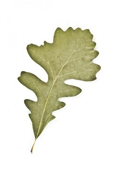 400x600 Types Of Oak Trees Learn About Different Oak Tree Varieties