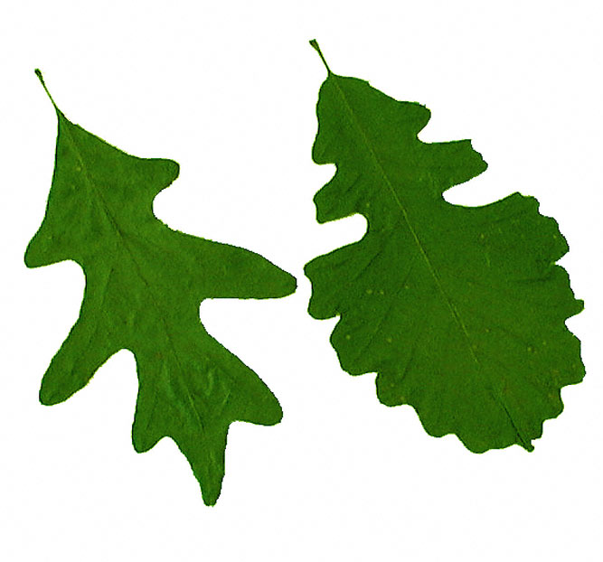 667x622 White Oak Leaves The Tree Doctor (Aka The Plant Doctor)