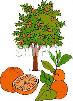 253x350 Fresh Oranges And An Orange Tree