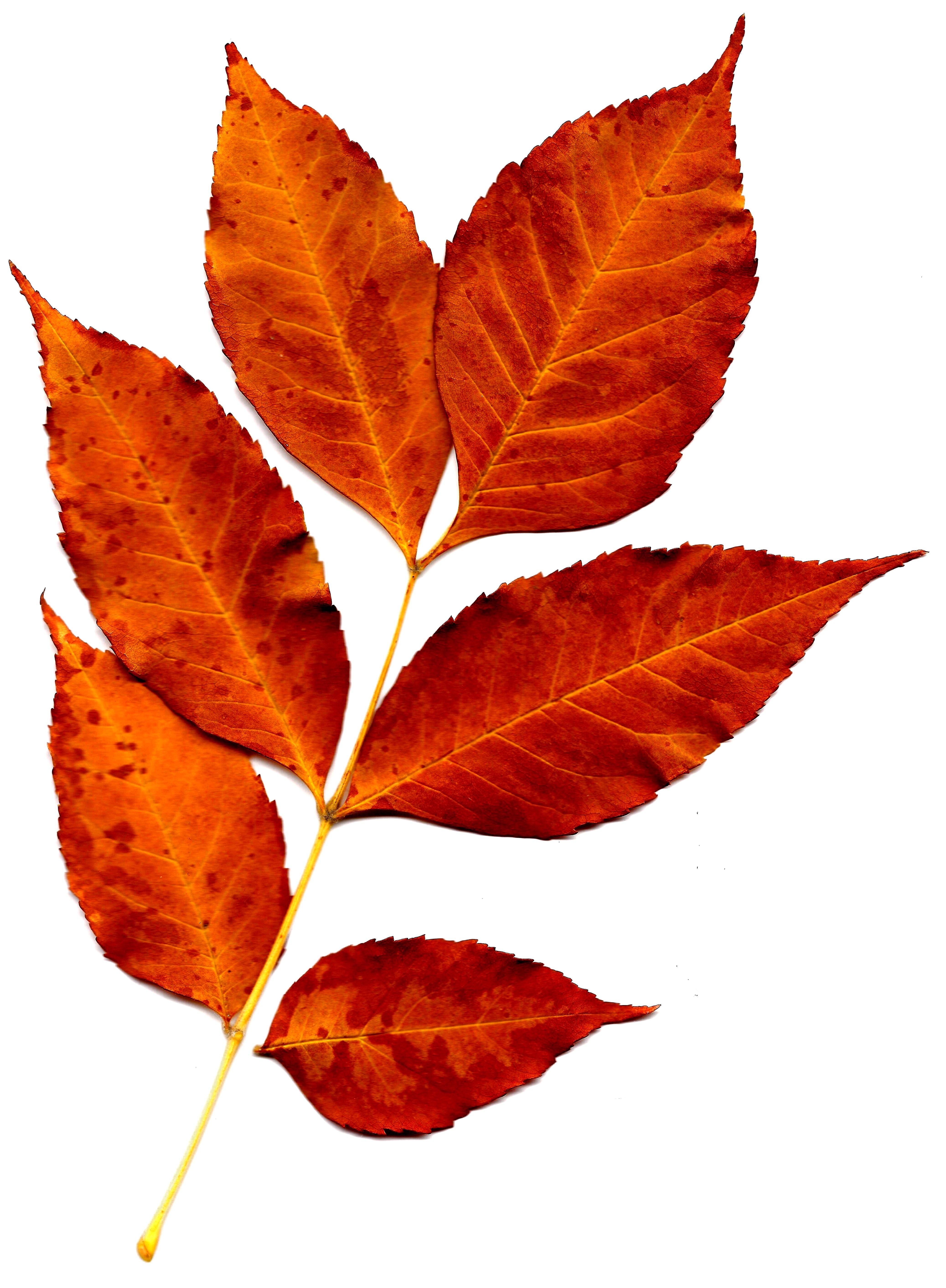 4150x5650 Orange Leaves Clip Art Clipart Panda