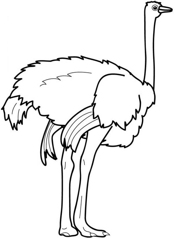 600x821 Outstanding Ostrich Coloring Page 43 On Gallery Coloring Ideas