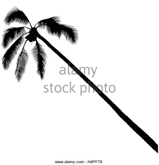 520x540 Coconut Palm Tree Black And White Stock Photos Amp Images