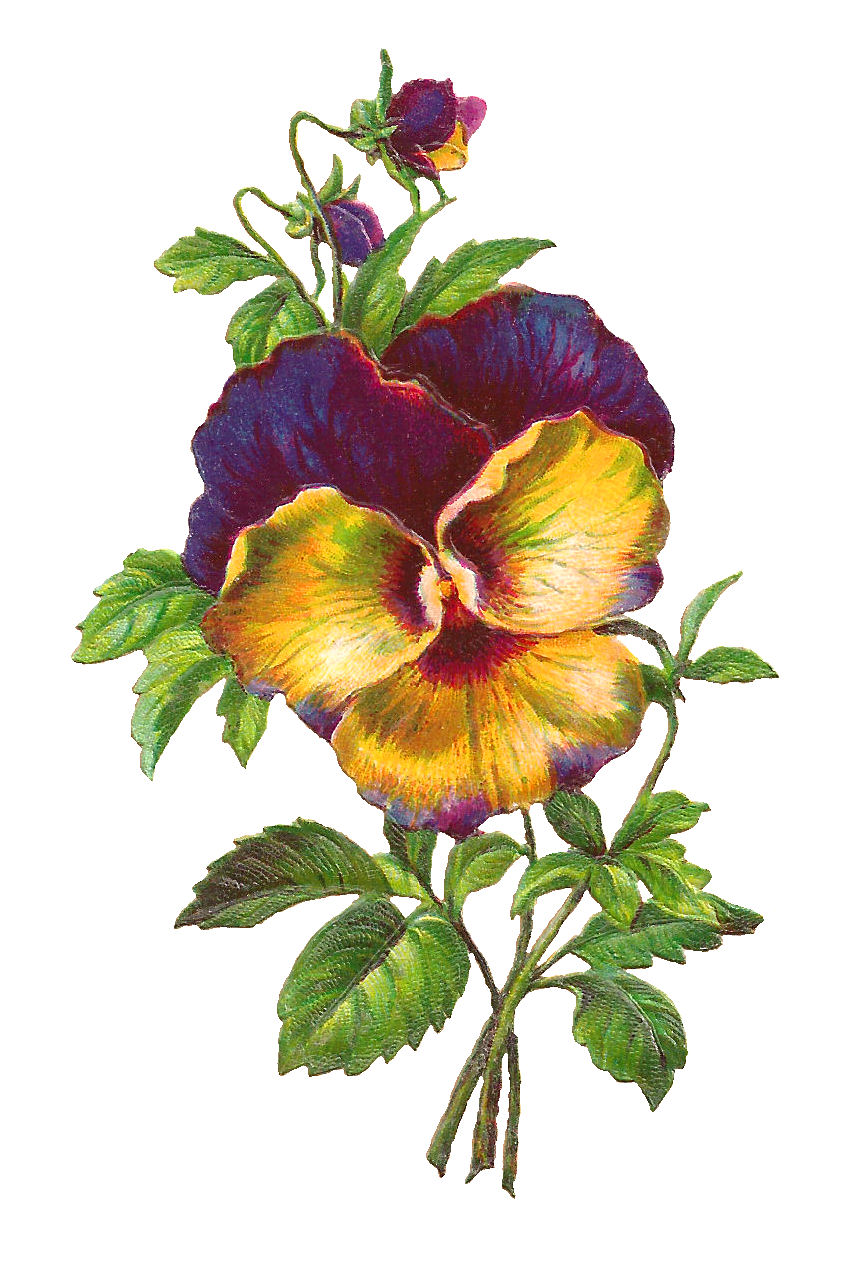 844x1261 Antique Images Free Pansy Download Purple Flower Image