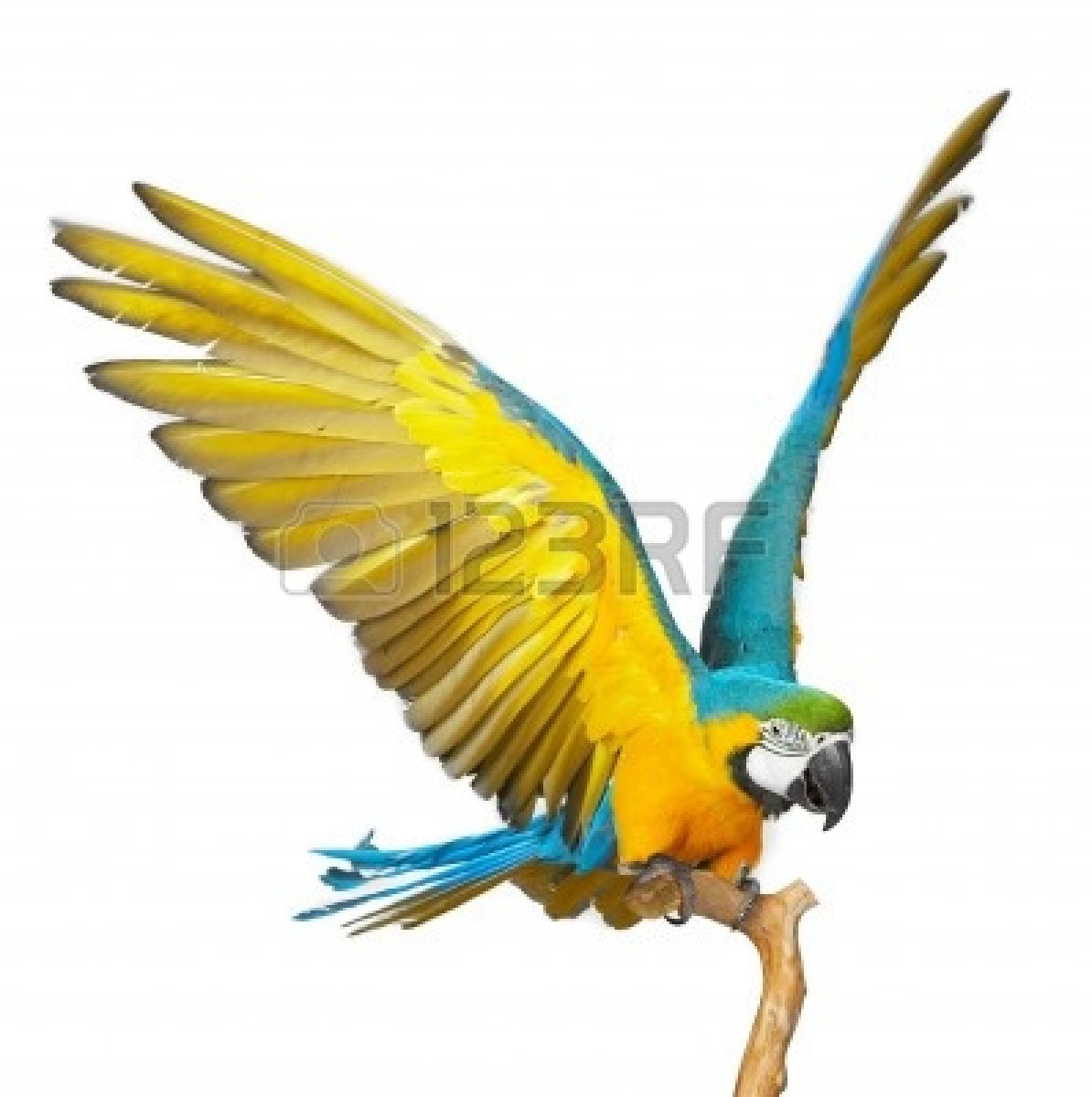 1194x1200 Parrot Flying 4596700 Colorful Parrot Isolated In White