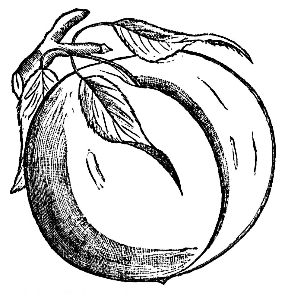945x975 Peach Black And White Clipart.png