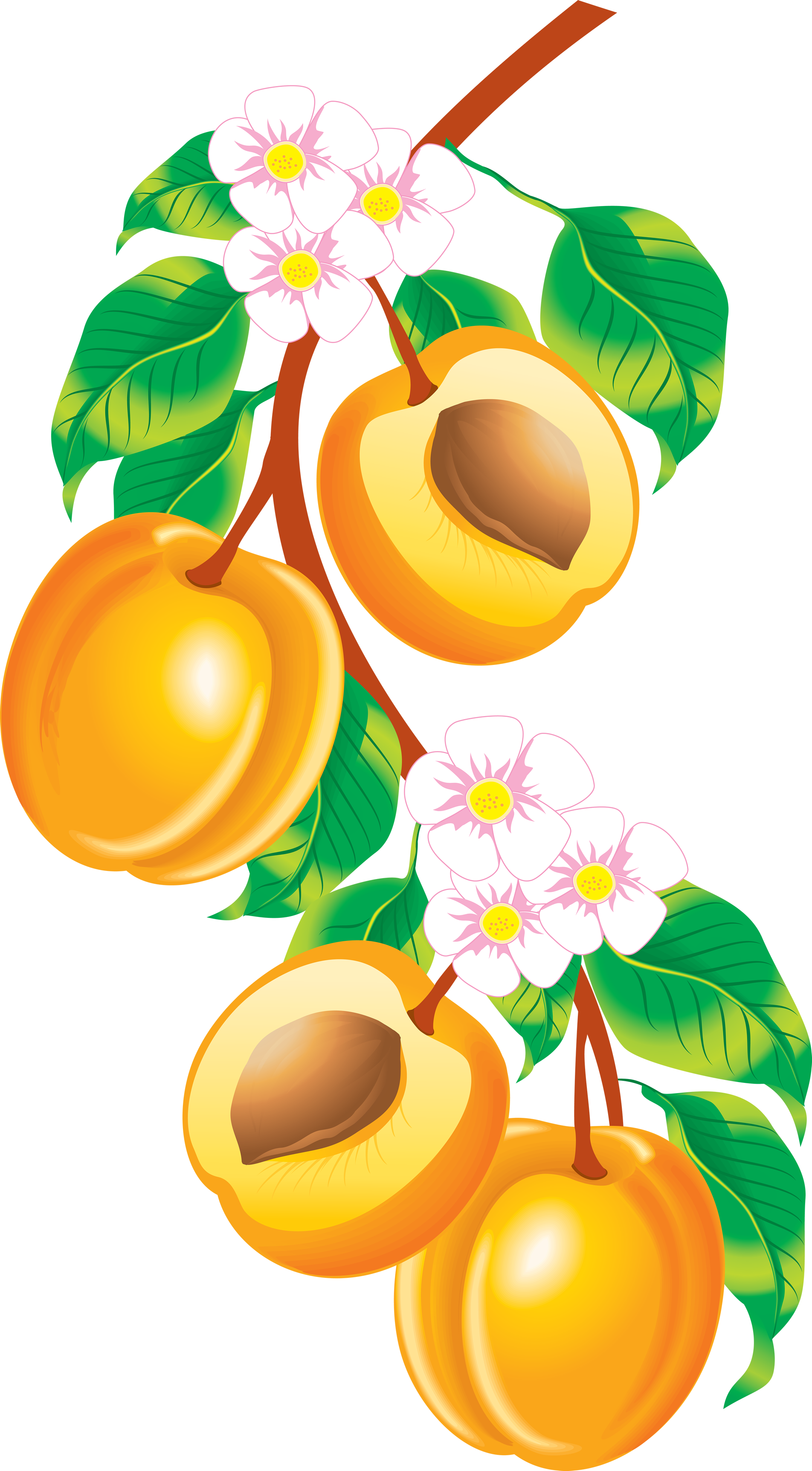 1904x3449 Peach Png Image, Free Download Peach Pictures