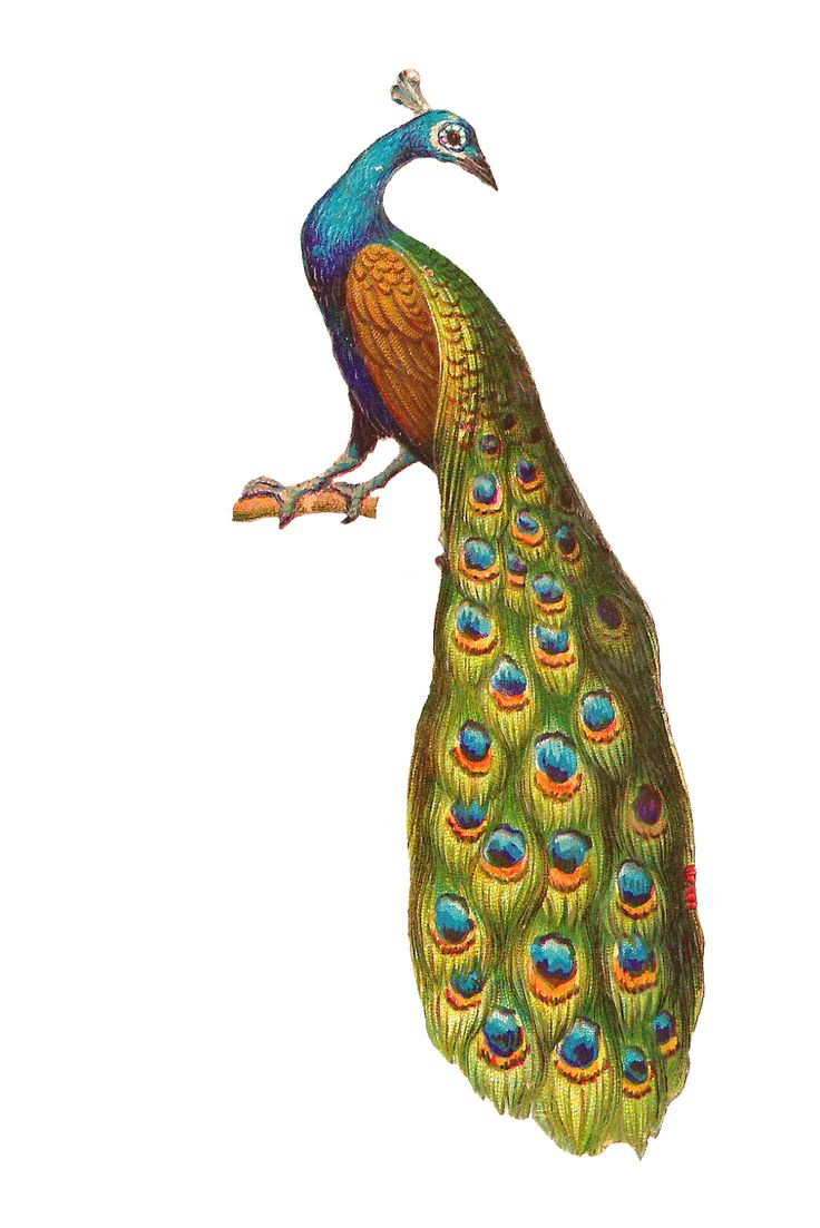 Peacock Clipart Free