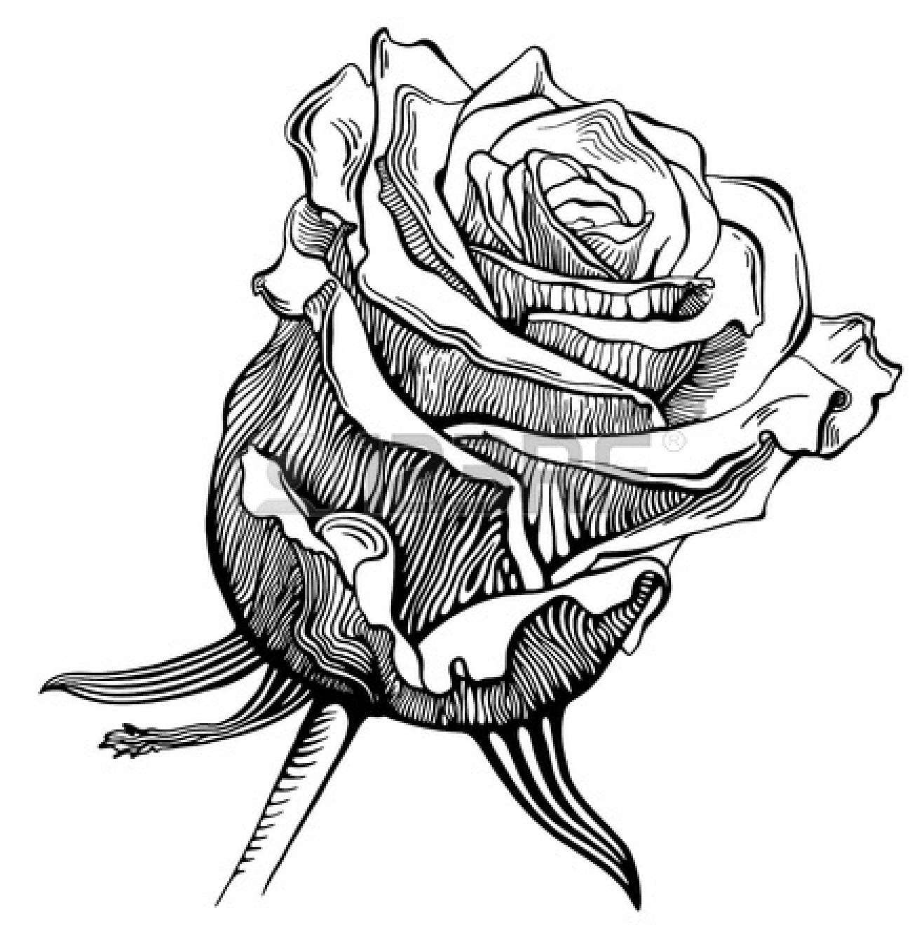 1311x1350 Black White Rose Pencil Drawing Beautiful Roses Rose Drawings
