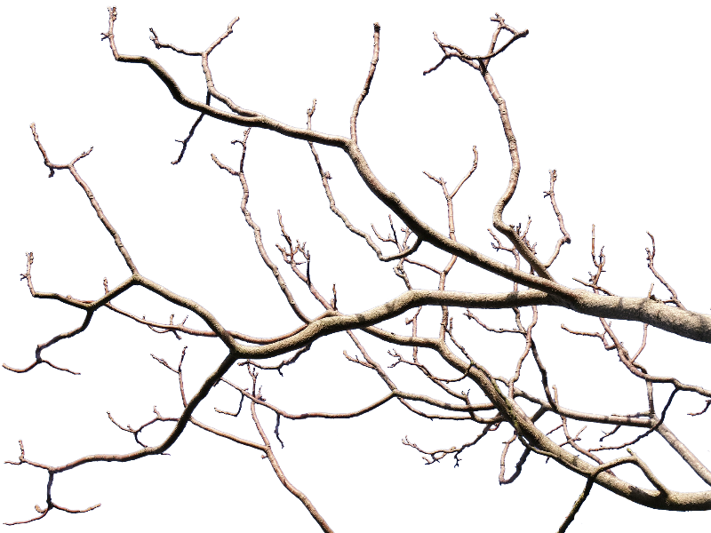 800x600 Tree Limb Png Transparent Tree Limb.png Images. Pluspng