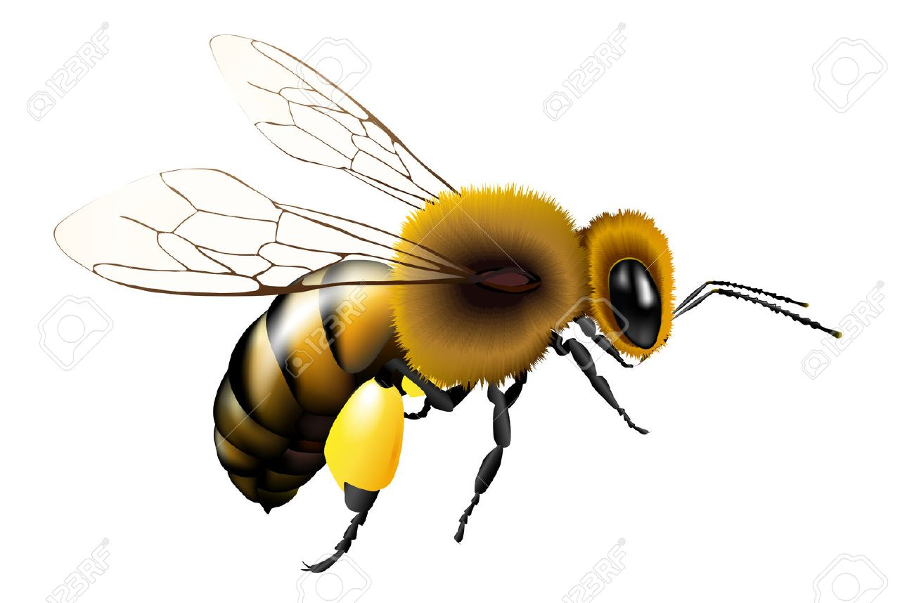 1300x858 Vector Illustration Of Bee With Transparent Wings For Any