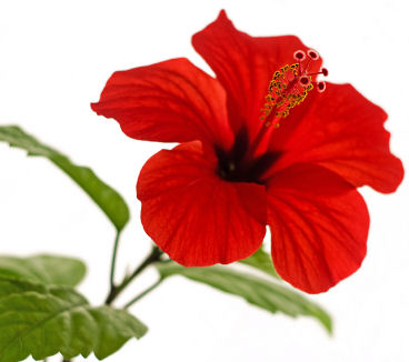 368x326 Fun Flower Facts Hibiscus Grower Direct Fresh Cut Flowers