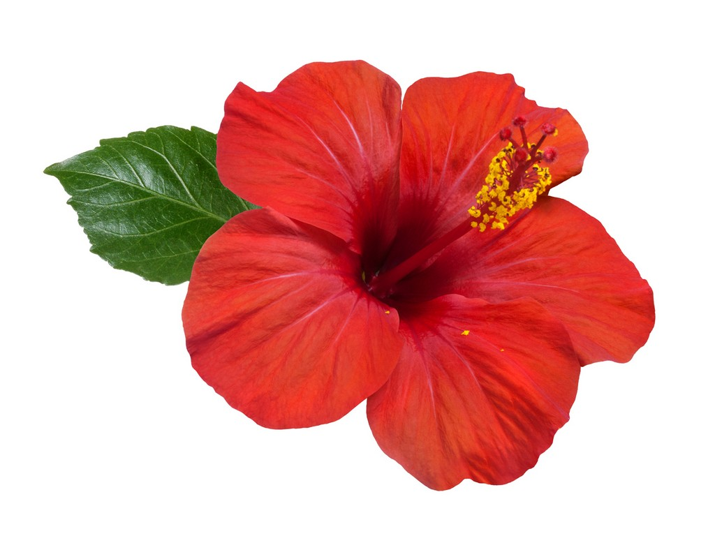Picture of hibiscus flower free download best picture of hibiscus flower on - Hibiscus images download ...