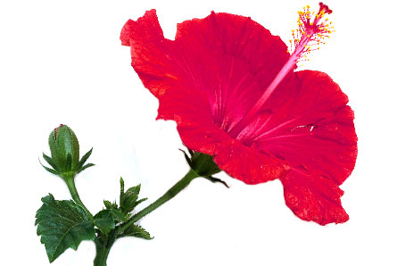 464x298 Picture Of Hibiscus Flower