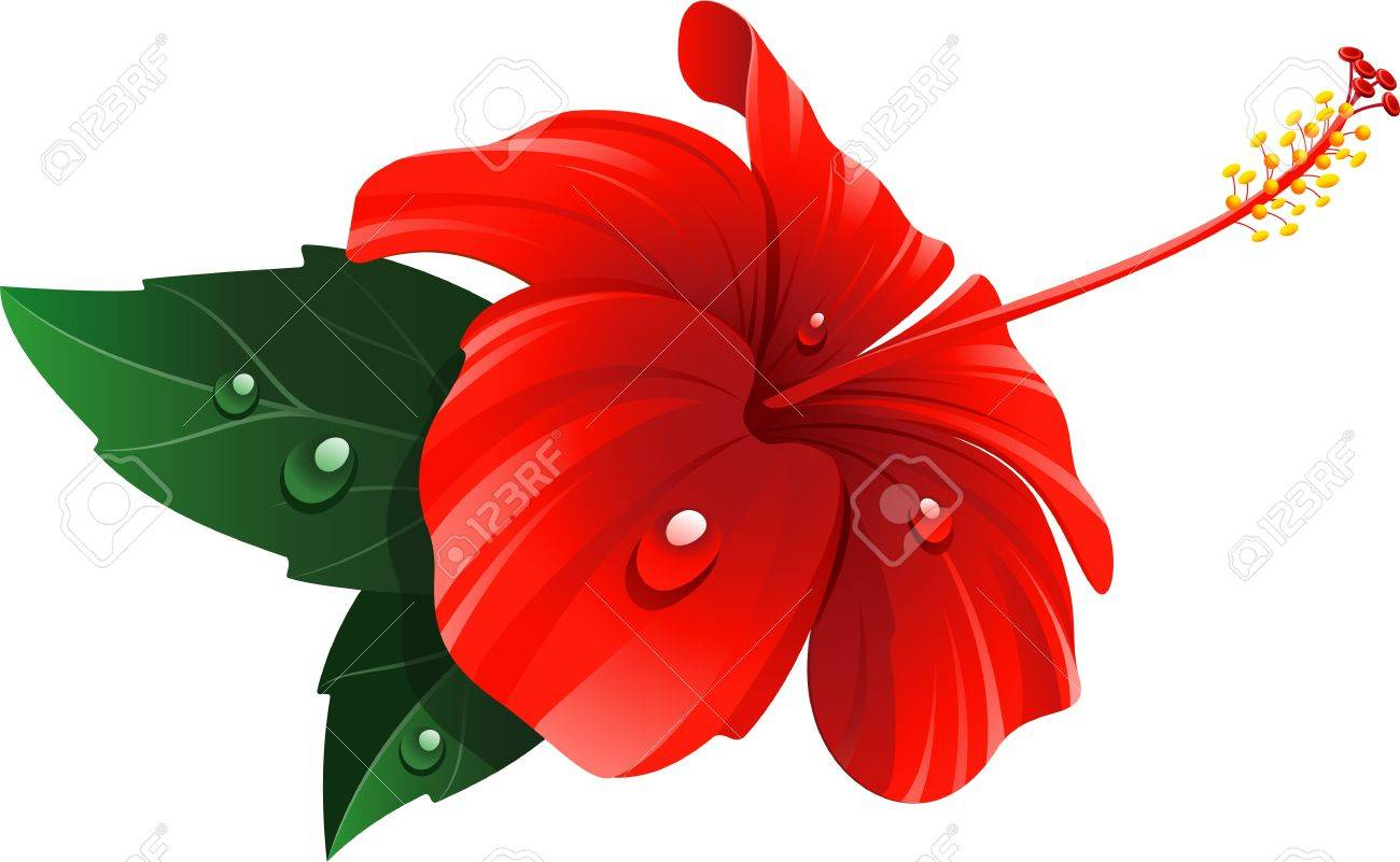 1300x801 Red Hibiscus Flower Over White. Royalty Free Cliparts, Vectors