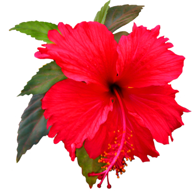384x383 Buttercup Clipart Hibiscus Flower