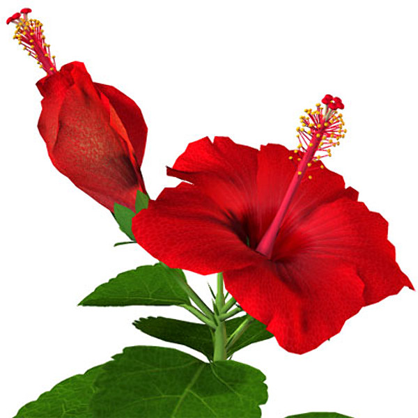 600x600 Flower Hibiscus 3d Model