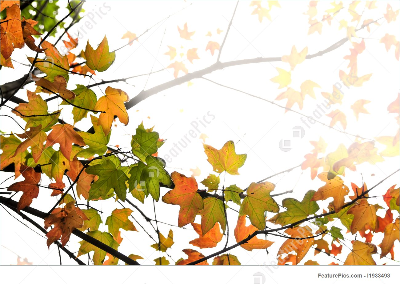 1300x923 Fall Maple Leaves Background