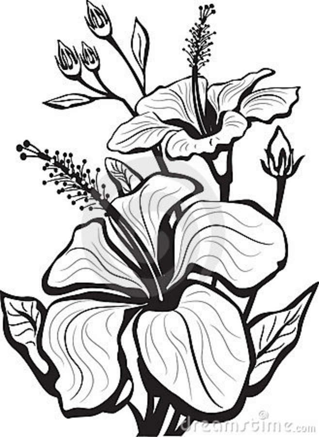 658x900 Hibiscus Flower Drawing