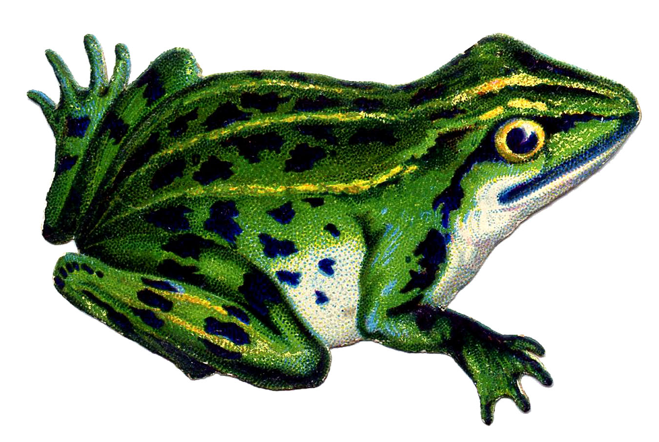 Frog realistic. Pictures of free download