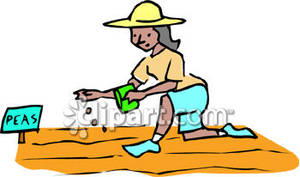 300x177 Woman Planting Pea Seeds Royalty Free Clipart Picture