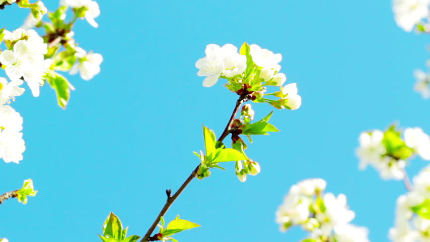 852x480 Bee And Apple Flower On A Sunny Day Stock Footage Video 26977315