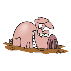 240x240 Pigs