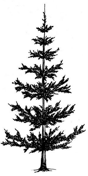 299x600 Pine Tree Trimming Clip Art Cliparts