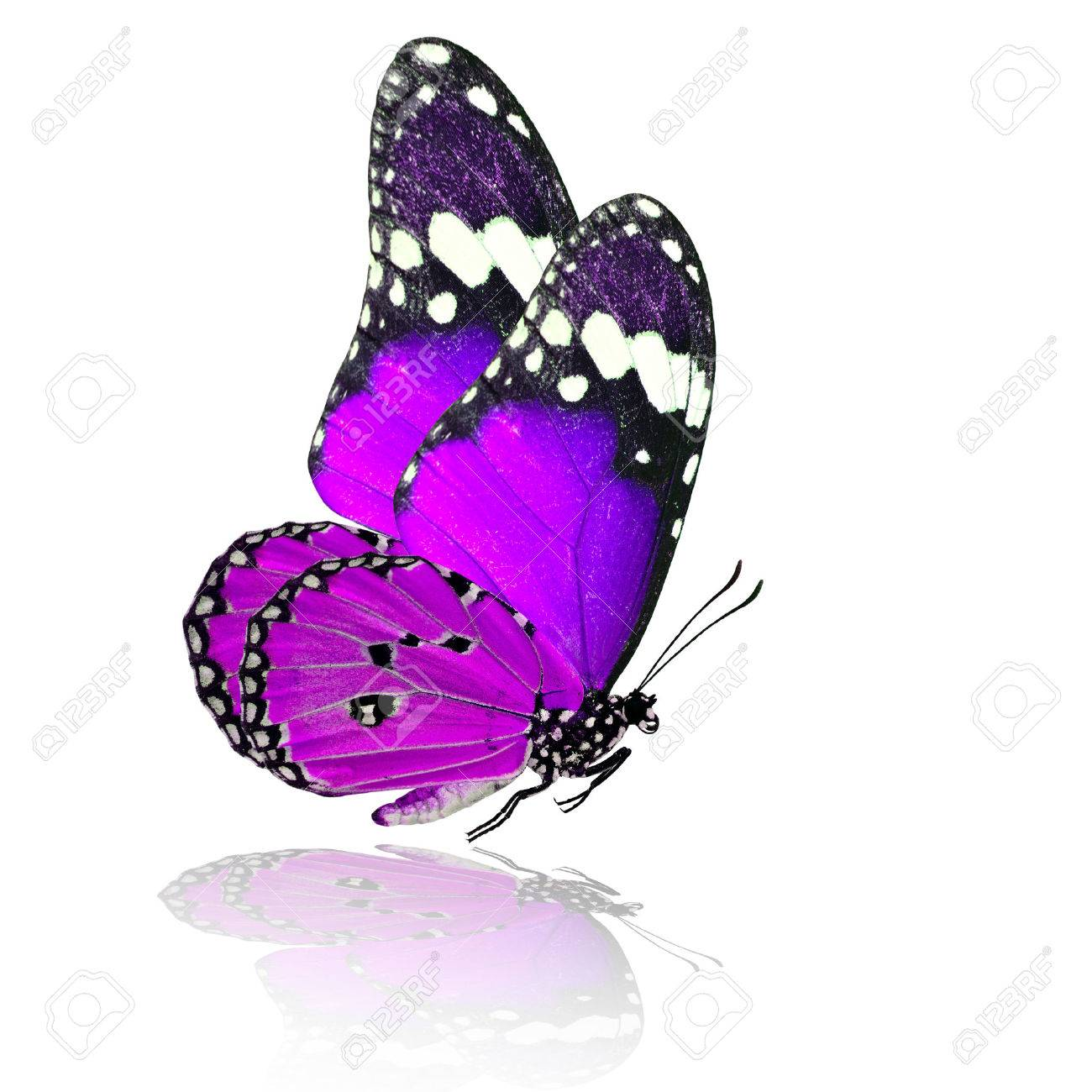 1300x1300 Purple Butterfly Stock Photos. Royalty Free Purple Butterfly