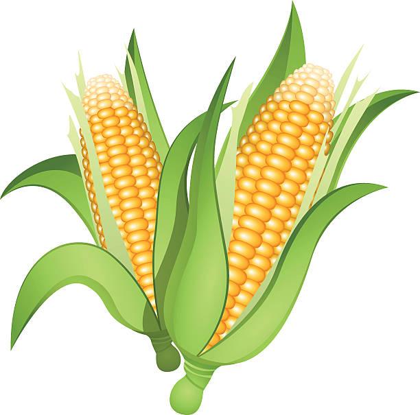 612x605 Corn Clipart Vector