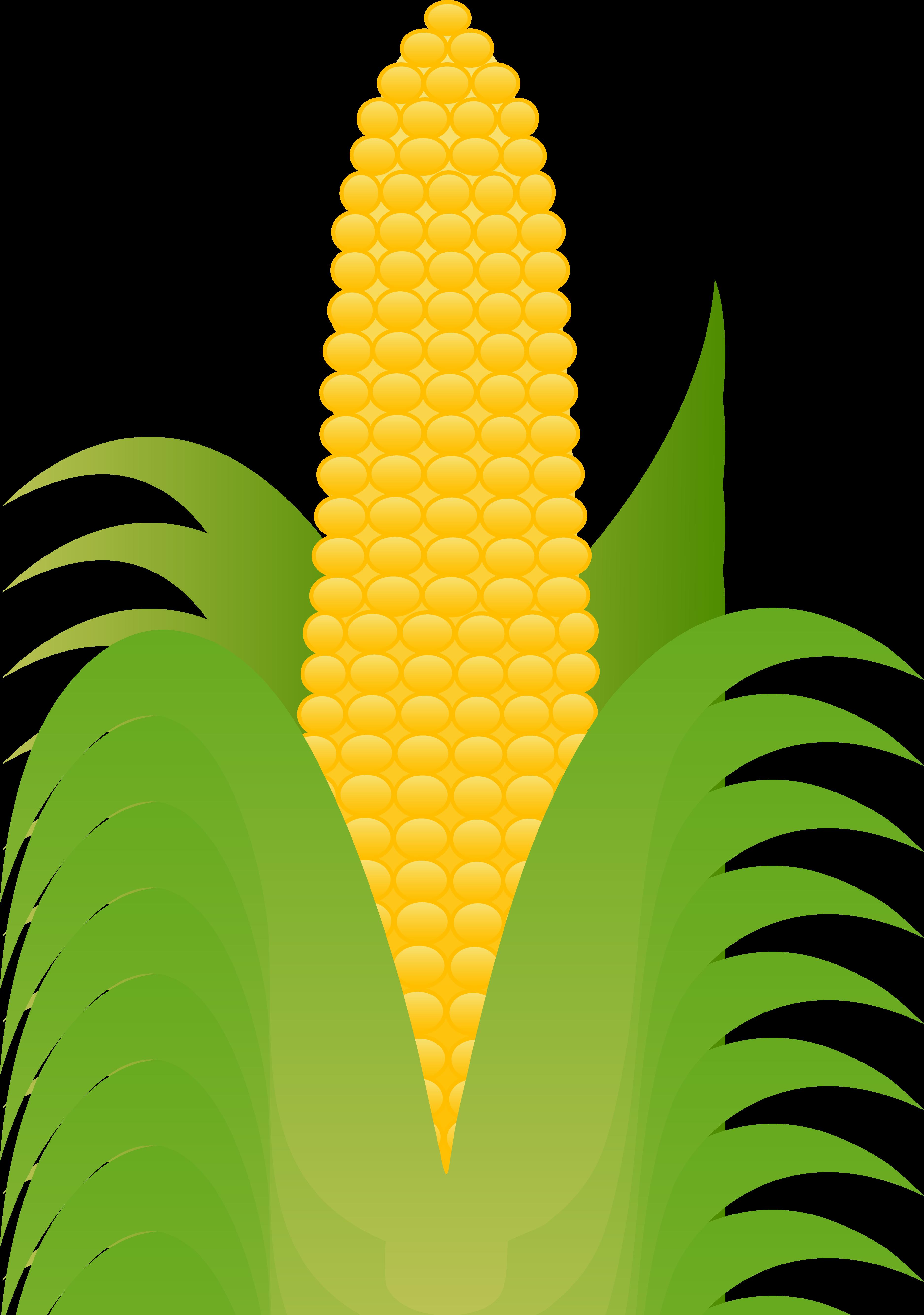 3751x5338 Ear Of Yellow Corn