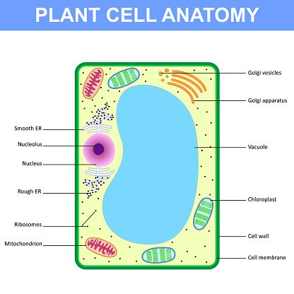 Plant Cell Clipart Free Download Best Plant Cell Clipart On