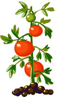 236x400 Tomato Plant Clipart