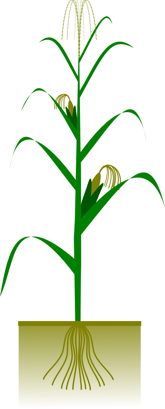 555x1377 Corn plant clipart kid