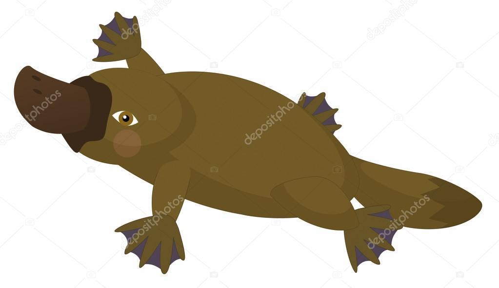 1023x591 Platypus Stock Photos, Royalty Free Platypus Images