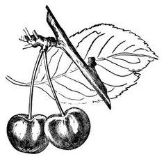 236x228 Strawberry Plant Illustration, Botanical Clip Art, Vintage Berry