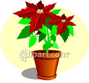 350x328 A Poinsettia Plant