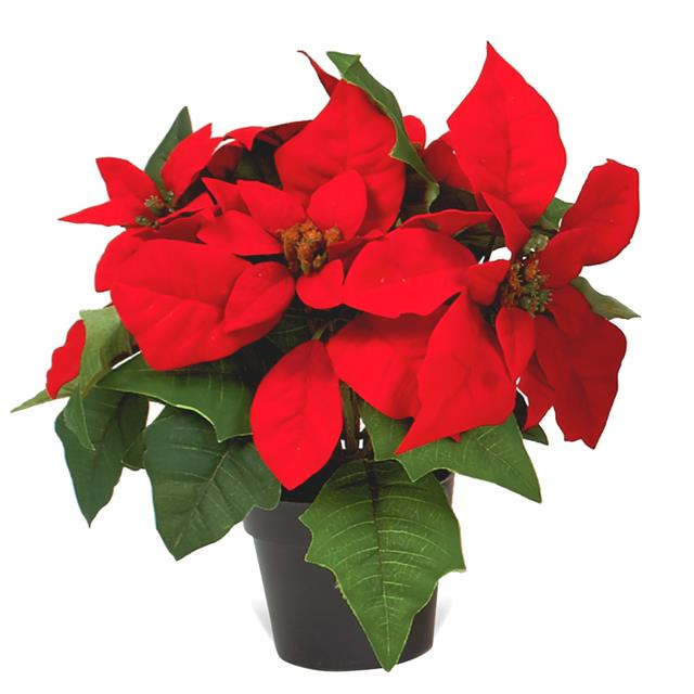 Red Christmas Flower.Poinsettia Flower Pictures Free Download Best Poinsettia