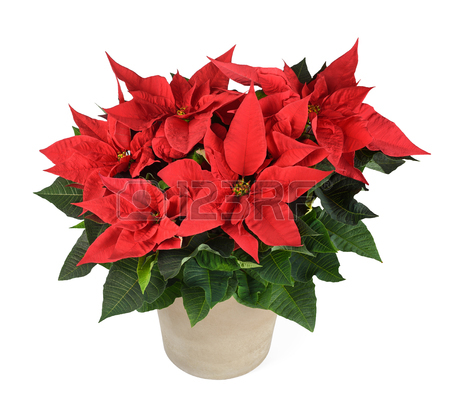 450x400 Poinsettia Flower Images Amp Stock Pictures. Royalty Free Poinsettia