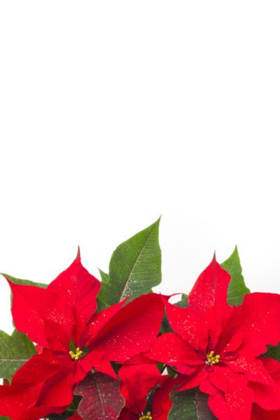 Poinsettia Pictures Free
