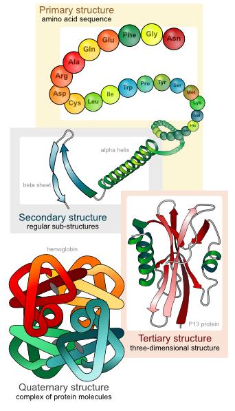 342x597 Main Protein Structure Levels En Clip Art