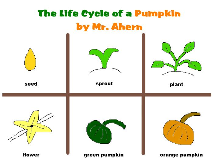 720x542 Life Cycle Of A Pumpkin