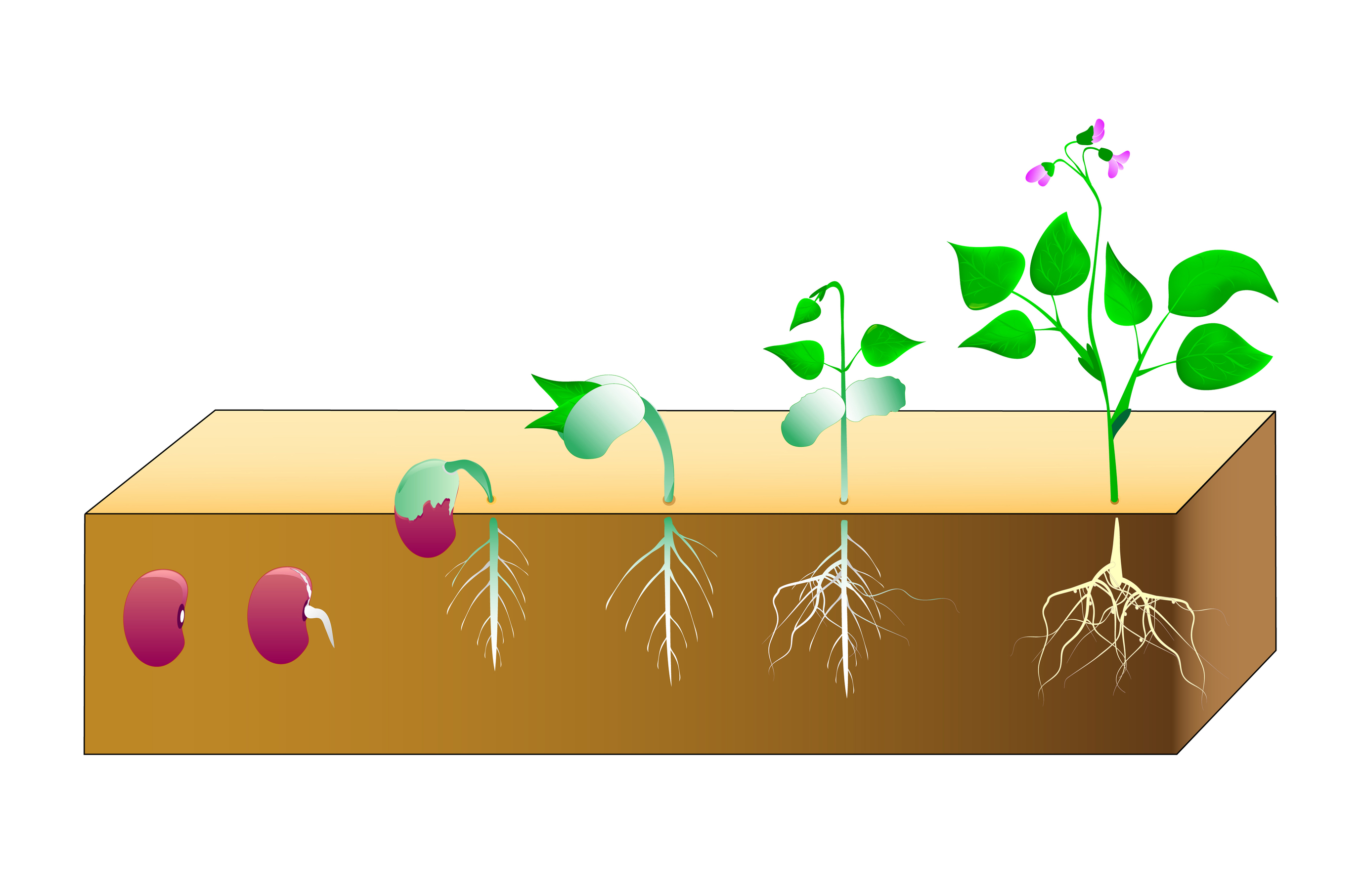2755x1813 Seed Clipart Plant Life Cycle