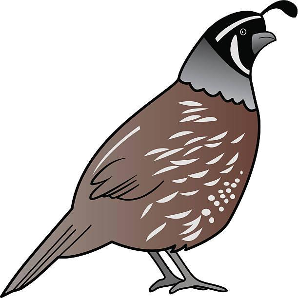 611x612 Quail Clipart Partridge