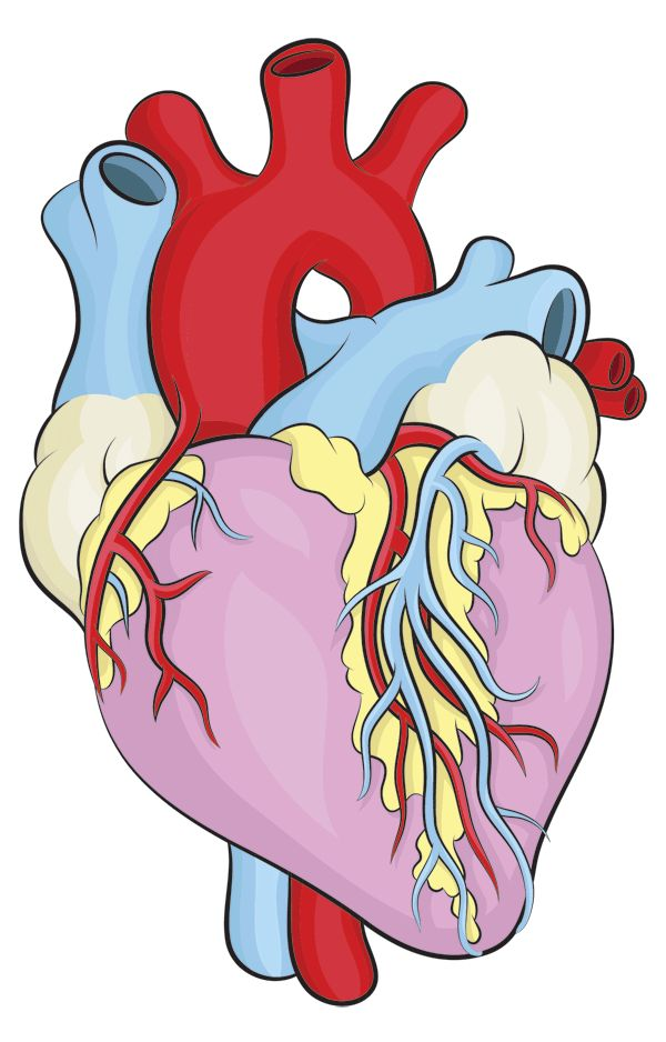 600x938 Best Human Heart Drawing Ideas Human Heart