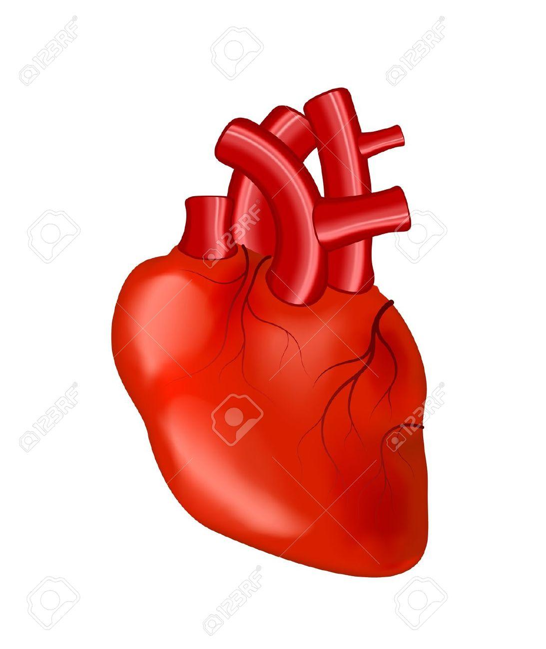 1093x1300 Anatomical Heart Cartoon Anatomical Human Heart On White