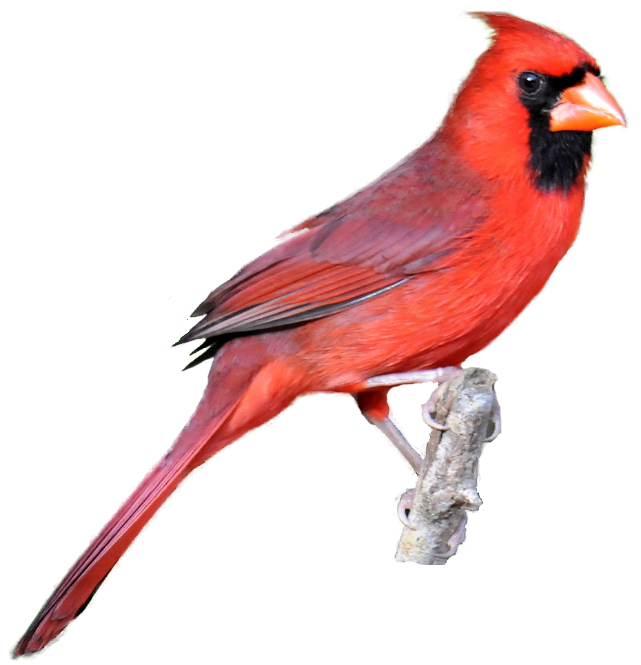 930x965 Cardinal Images Realistic Clipart From Masked Photographs