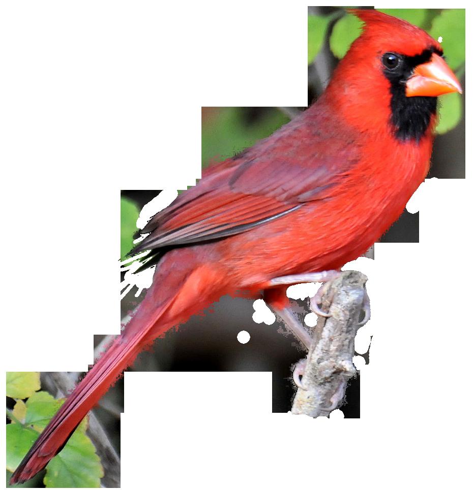 930x965 Red Cardinal Clipart Kid 4