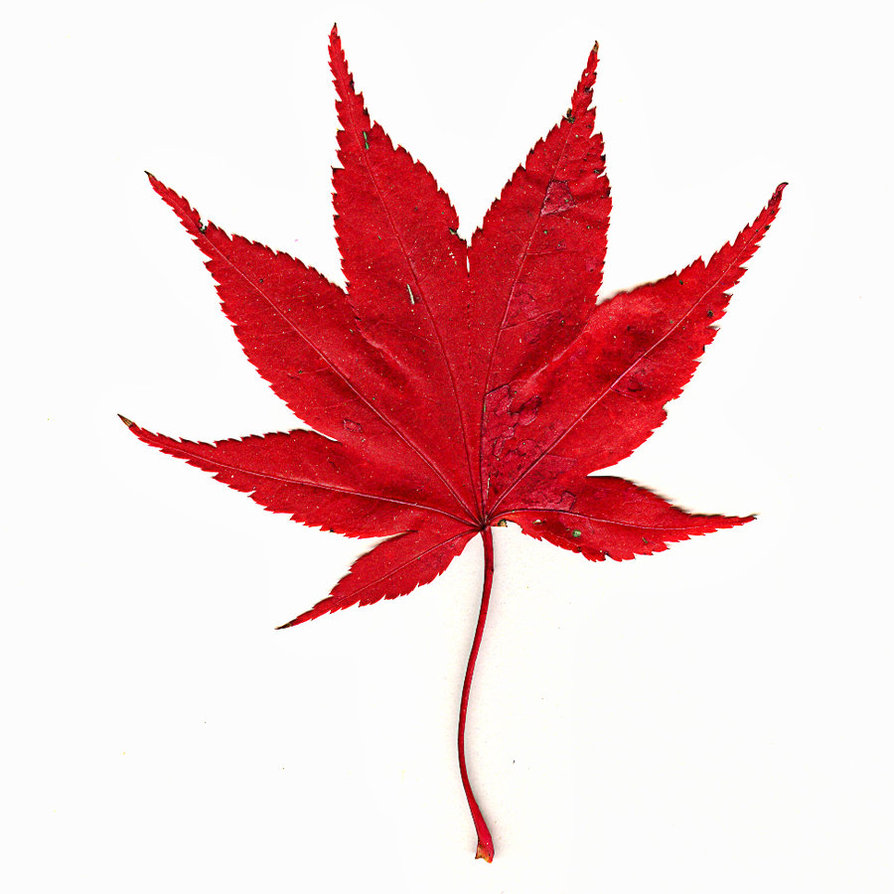 894x894 Japanese Maple Red Leaves Clipart